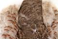 Partridge Skin, Natural Grade 1