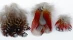 Temminick's Tragopan Pheasant